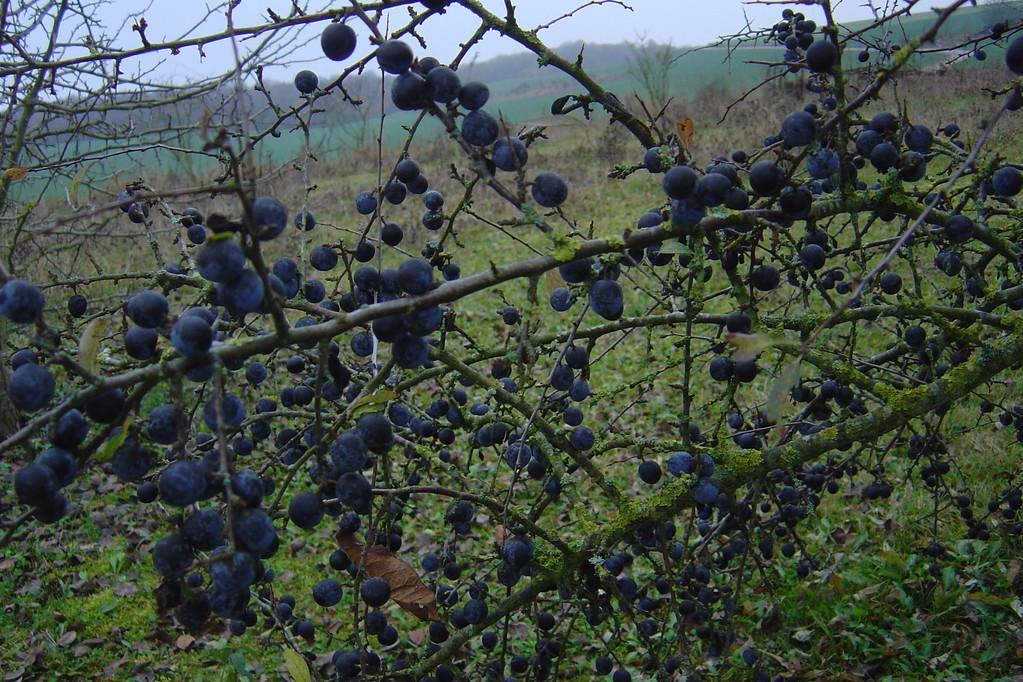 Prunelles à la récolte