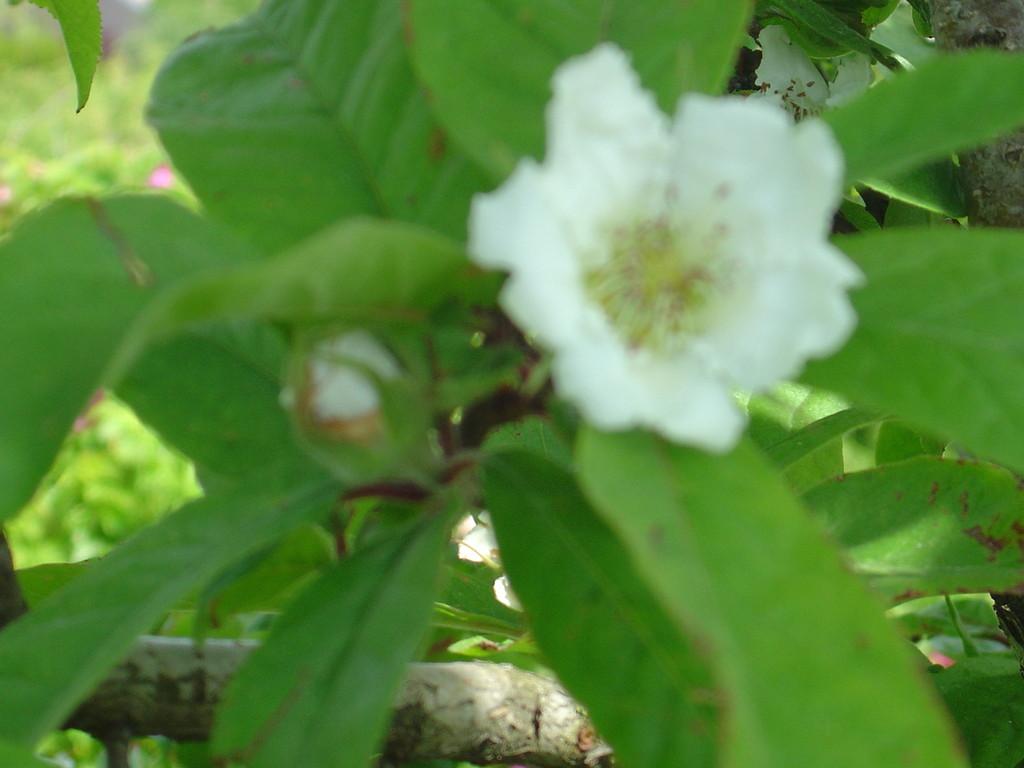 Fleur de nèfle