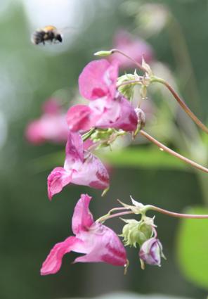 Biene im Anflug auf die rosaroten Blüten. Sommer. Foto: Helga Karl