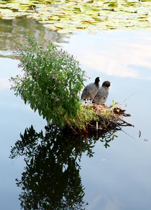 Wasservögel: Eltern im Nest auf dem Wasser