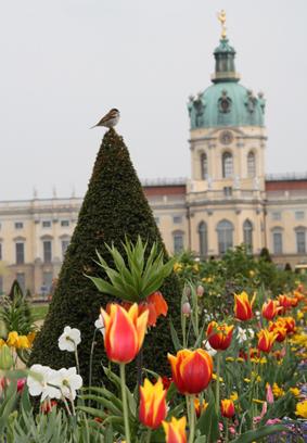 Spatz auf der Spitze des Bäumchens. Frühling mit Tulpen vor dem Schloss Charlottenburg in Berlin. Foto: Helga Karl