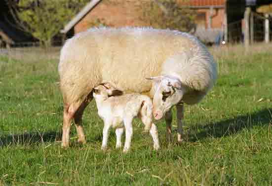 Bentheimer Landschaf mit Lamm
