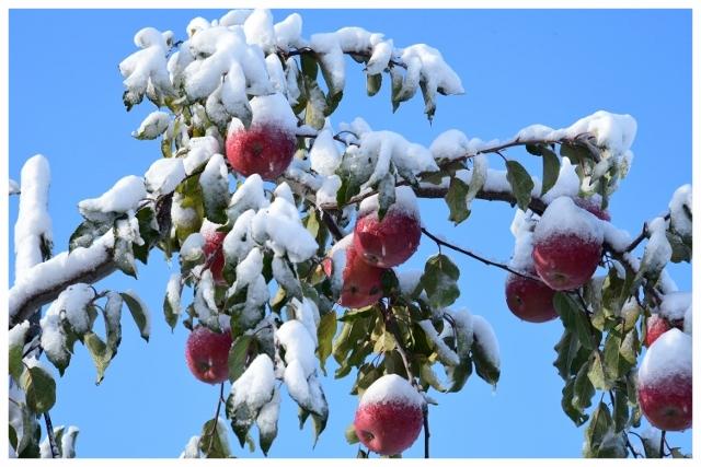 ふんわり雪化粧(群馬・高山村)