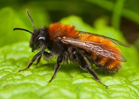 http://www.rps.org/member/gallery/edward-phillips/Andrena-Mining-Bees