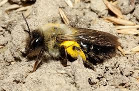 Auch die Sandbiene Andrena vaga ist Weidenspezialistin. Hier sieht man ein pollenbeladenes Weibchen. (http://www.bwars.com/content/andrena-vaga)