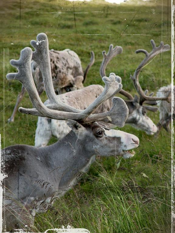 Norwegen 2005, Rentier