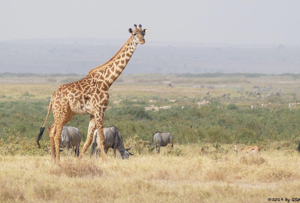 Massai-Giraffe, Östliches Weißbartgnu, Thomsongazelle, Grant-Gazelle