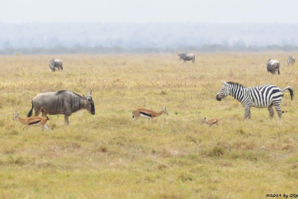 Thomsongazelle, Östliches Weißbartgnu, Böhm-Steppenzebra (Grant-Zebra)