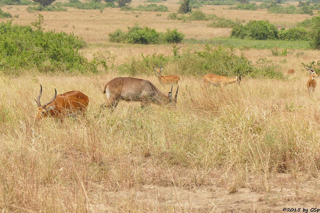 Defassa-Wasserbock, Uganda-Grasantilope/Thomas-Wasserbock (Waterbuck, Ugandan Kob)