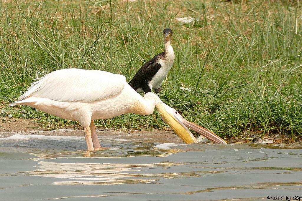 Rosapelikan, Weißbauchkormoran (Great white Pelican, Greater (white-breasted) Cormorant)