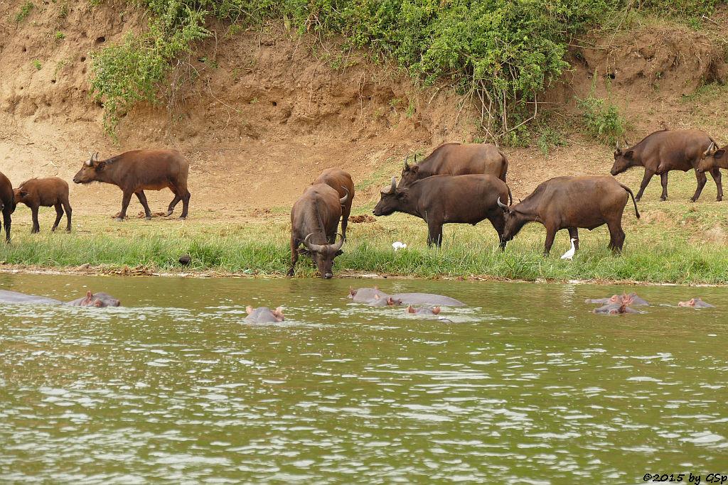Flusspferd, Kaffernbüffel, Kuhreiher (Hippopotamus/Hippo, Buffalo, Cattle Ibis)