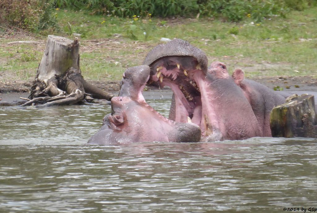Flusspferd (Nilpferd)
