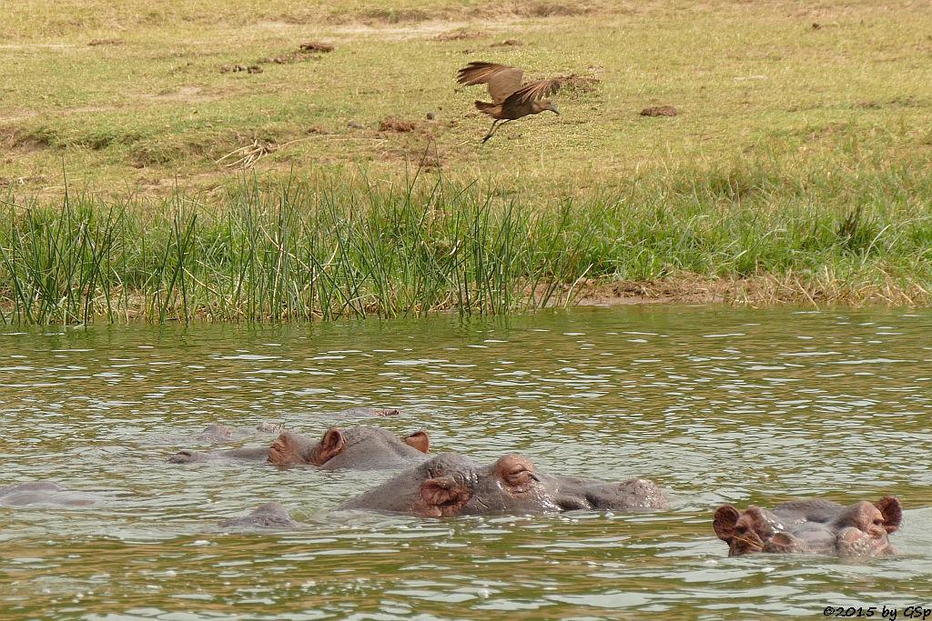 Flusspferd, Hammerkopf (Hoppopotamus/Hippo, Hamerkop)