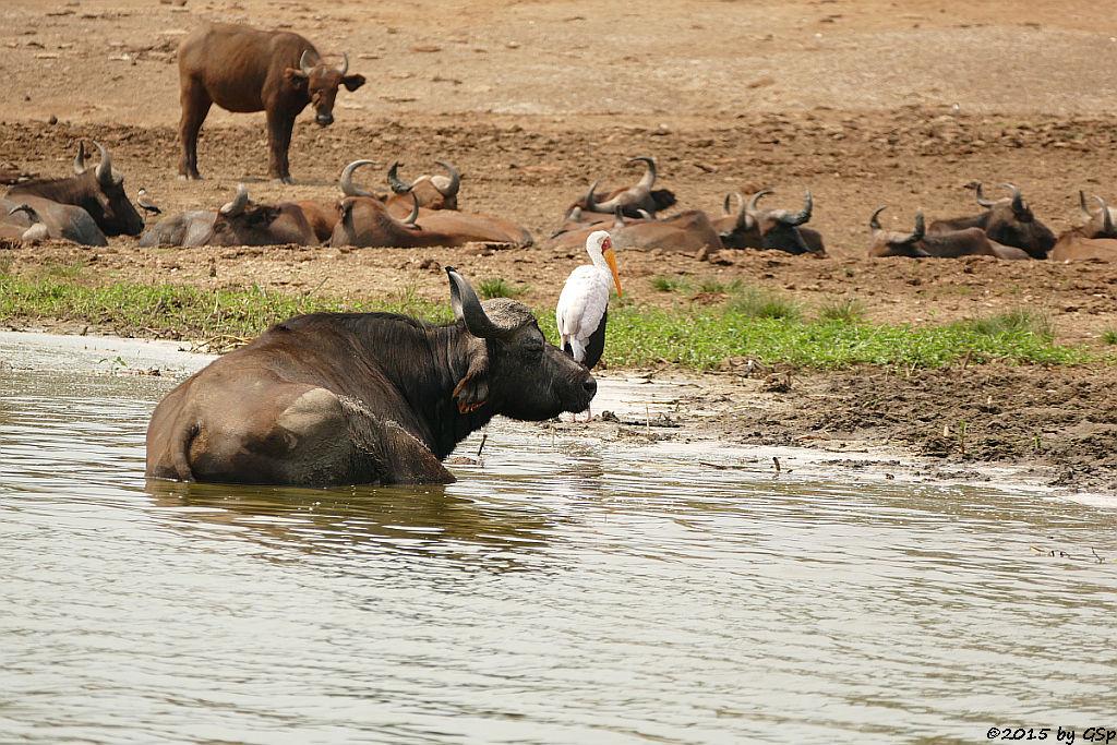 Kaffernbüffel, Afrikanischer Nimmersatt (Buffalo, Yellow-billed Stork)