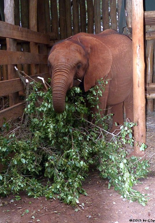 NAROK, geb. im April 2011, gefunden in Narok/Masai Mara