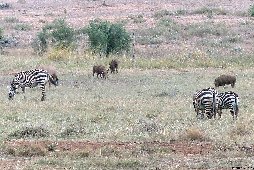 Böhm-Steppenzebra, Eritrea-Spießbock (-Oryx), Warzenschwein