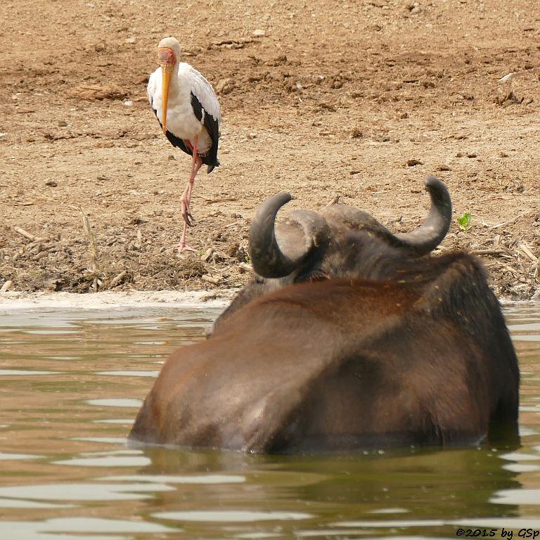 Afrikanischer Nimmersatt, Kaffernbüffel (Yellow Billed Stork, Buffalo)