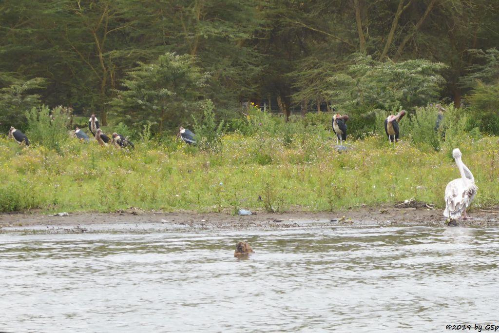 Marabu (Afrikanischer Marabu), Rötelpelikan (Rotrückenpelikan)