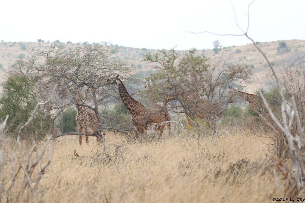 Massai-Giraffe