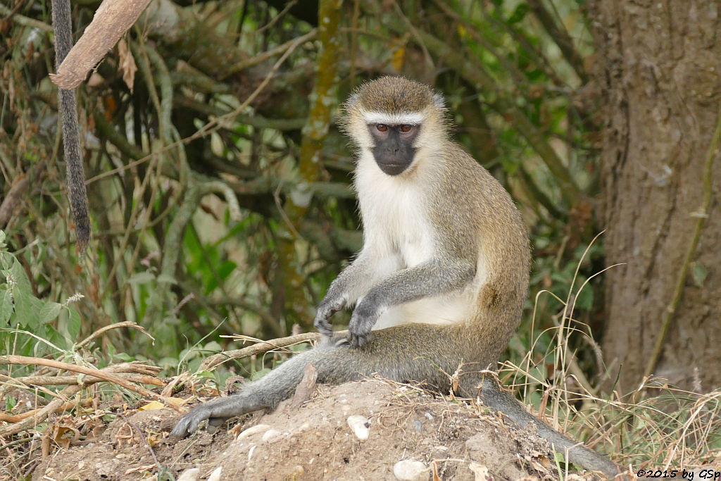 Grüne Meerkatze (Vervet-Monkey)