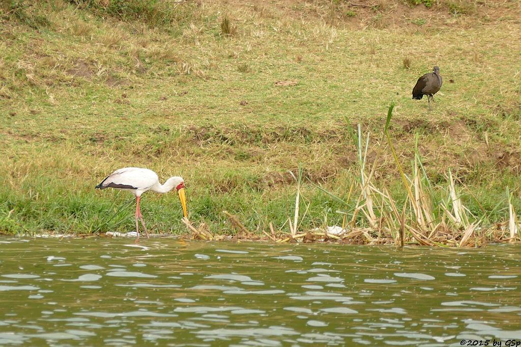 Nimmersatt, Hagedasch (Yellow-billed Stork, Hadada Ibis)