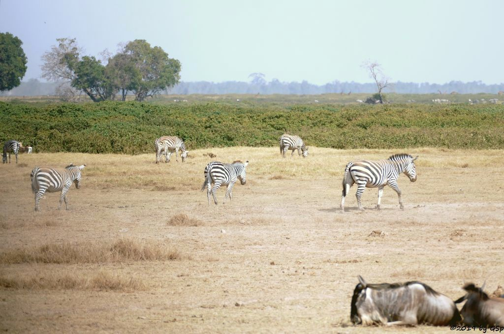 Böhm-Steppenzebra (Grant-Zebra), Östliches Weißbartgnu