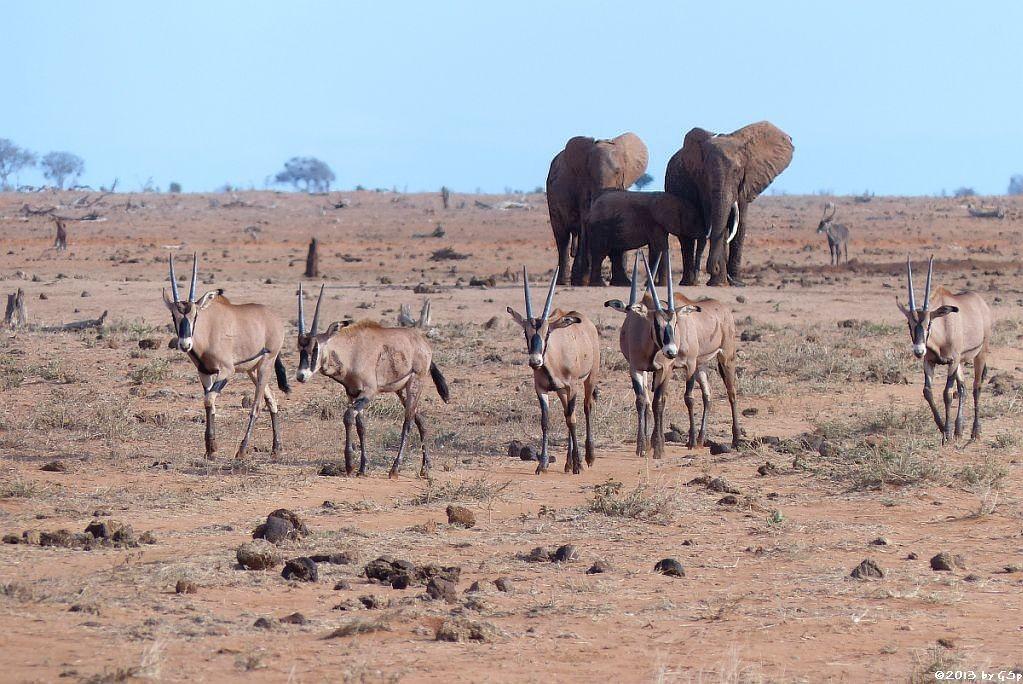 Eritrea-Spießbock (-Oryx), Elefant, Wasserbock