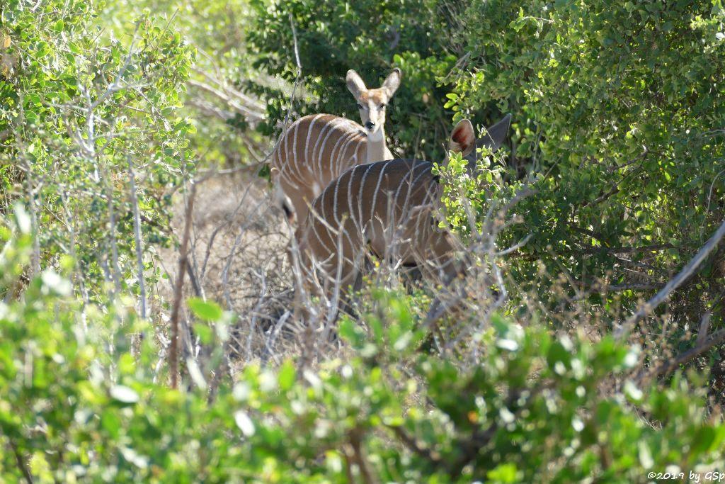 Südlicher Kleiner Kudu (Südlicher Kleinkudu)