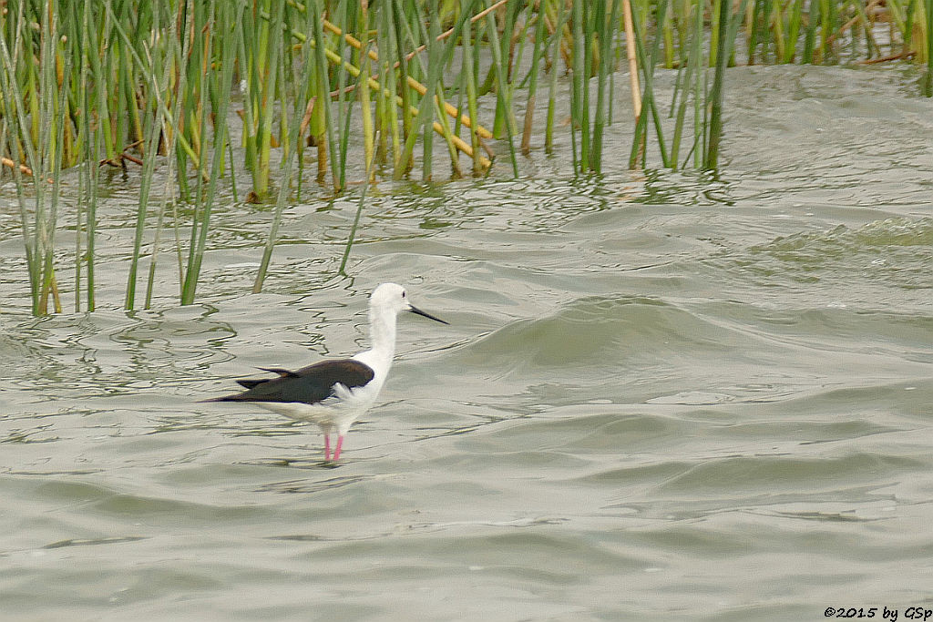 Stelzenläufer (Back-winged Stilt)