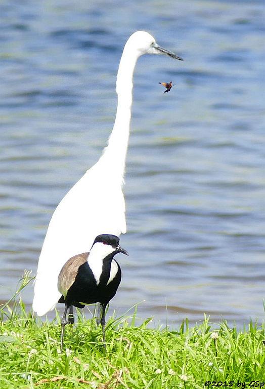 Spornkiebitz, Seidenreiher (Little Egret, Spore-winged Lapwing)