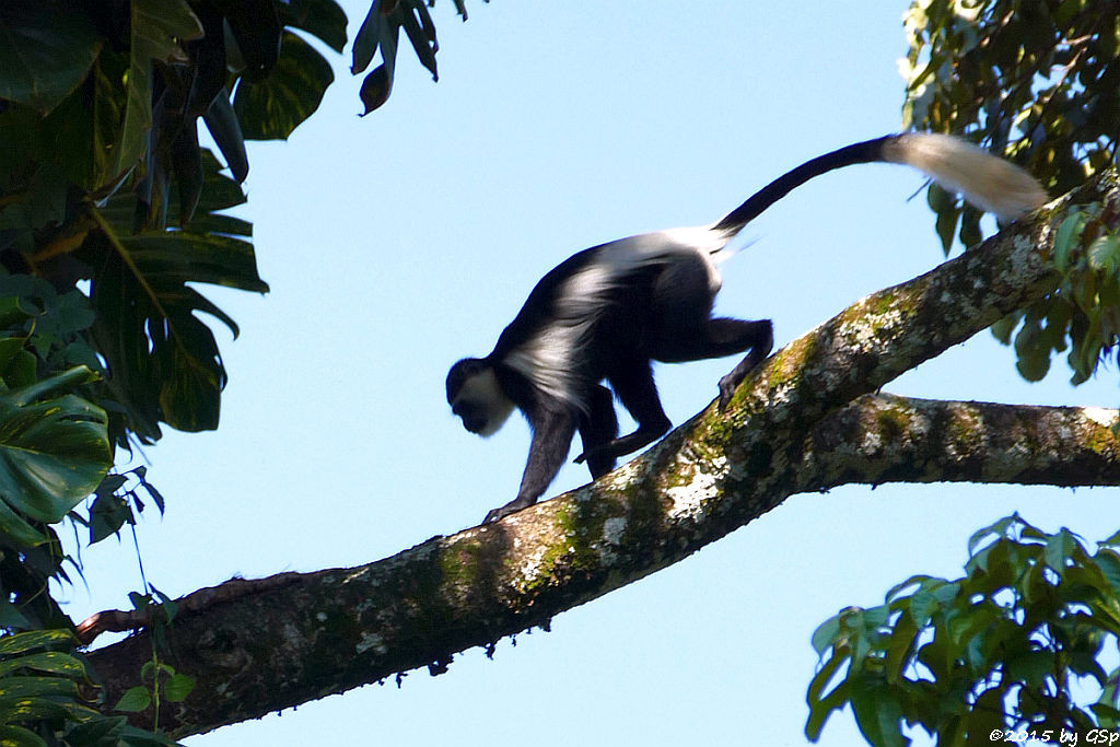 Mantelaffe, Guereza (Black-and-white Colobus)