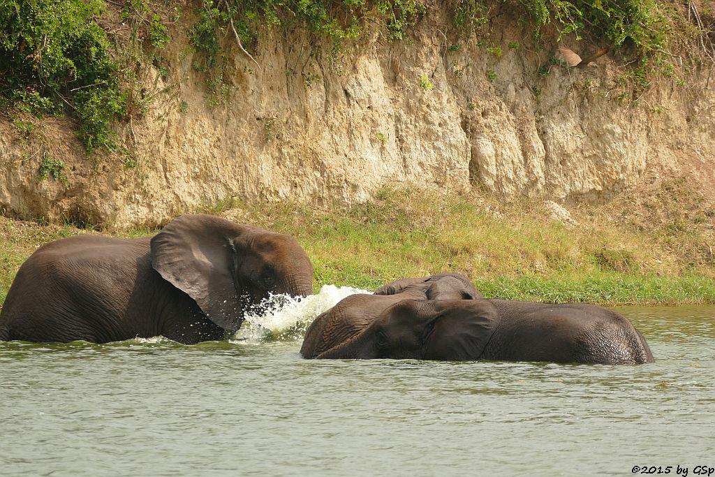 Afrikanischer Elefant (African Elephant)