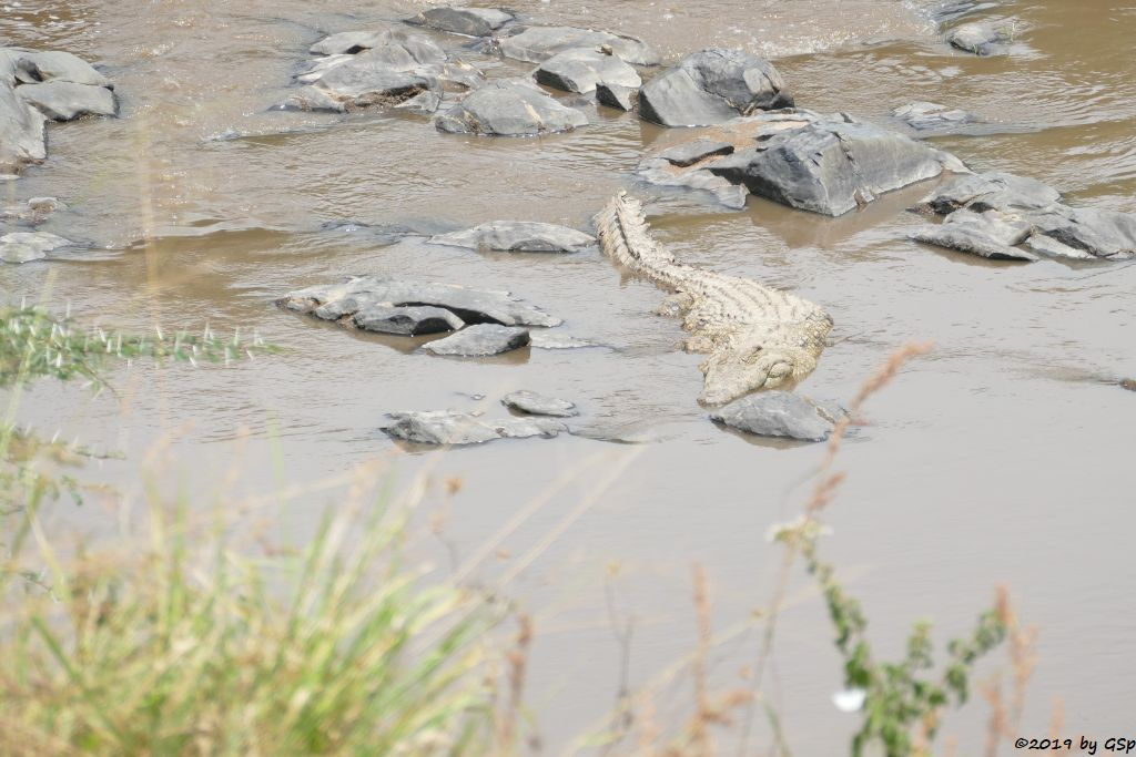 Östliches Nilkrokodil (Kenia-Nilkrokodil)