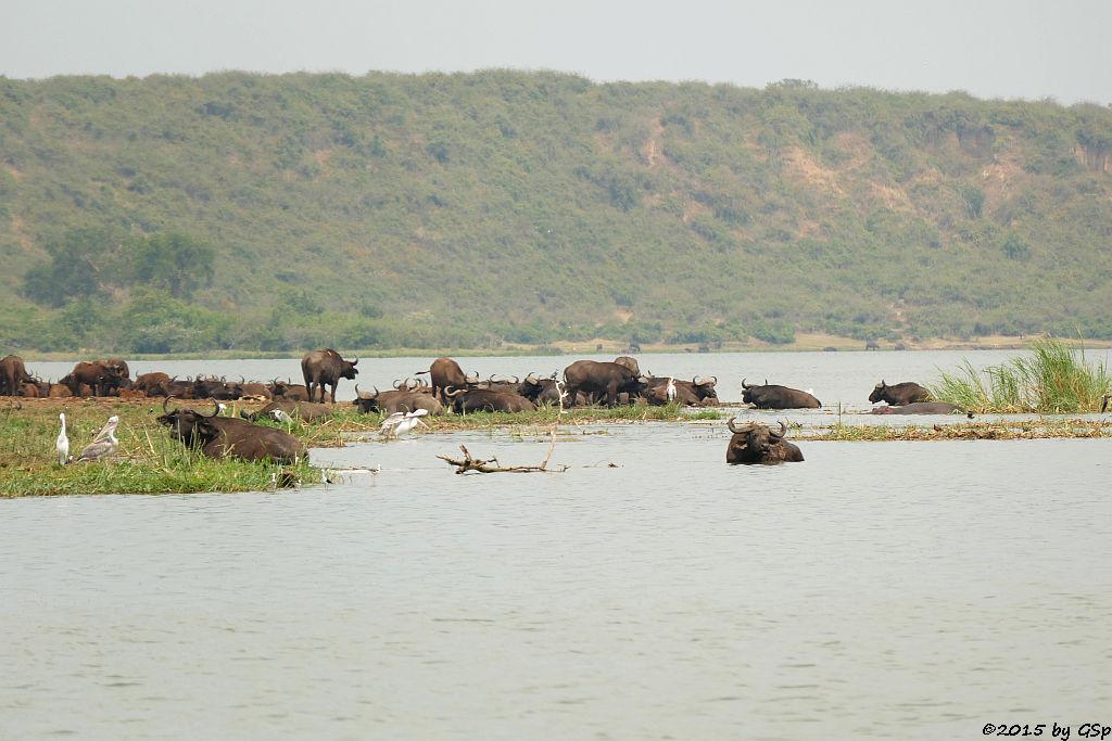 Kaffernbüffel, Rötelpelikan. Nimmersatt, Flussferd (Buffalo, Pink-backed Pelican, Yellow-billed Stork, Hippopotamus/Hippo)