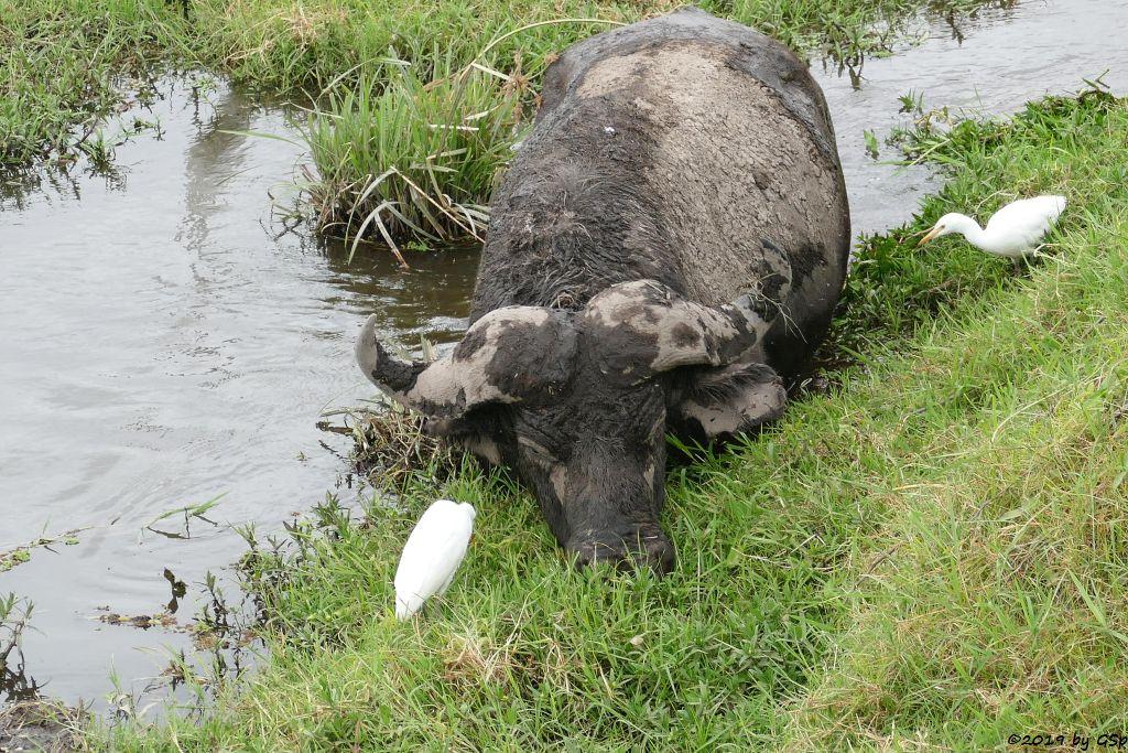 Kapbüffel (Kaffernbüffel, Schwarzbüffel), Kuhreiher