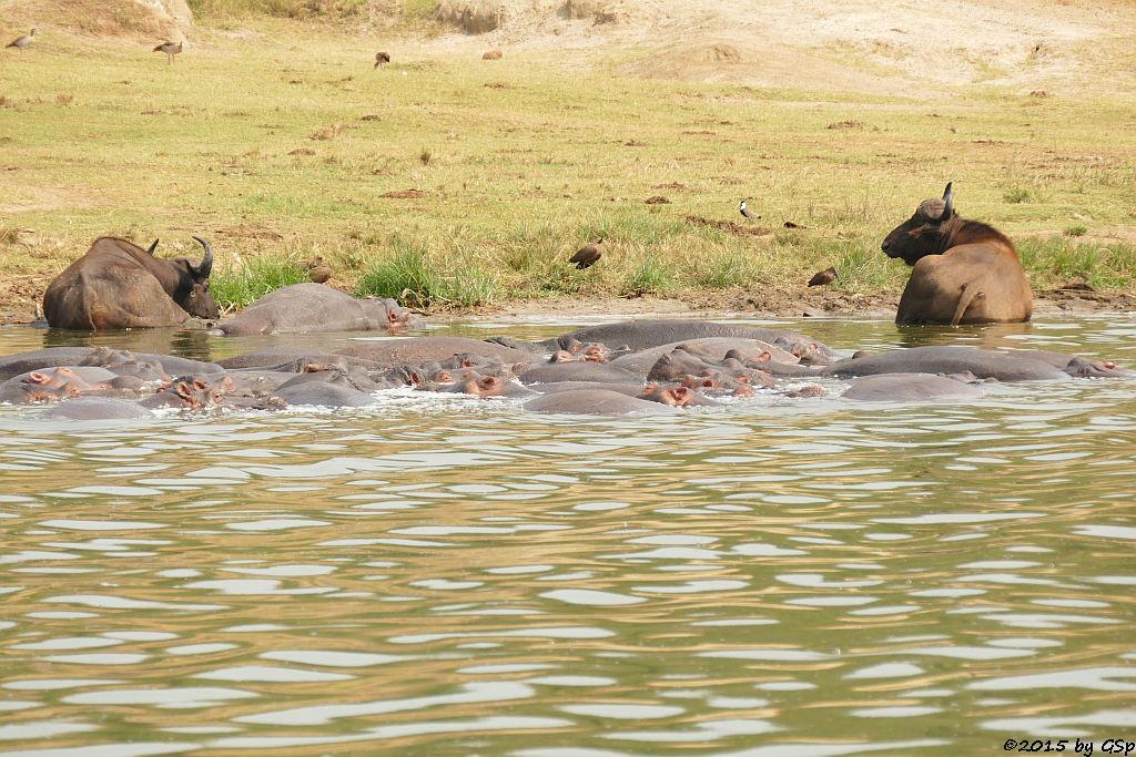 Flusspferd, Kaffernbüffel, Hammerkopf, Spornkiebitz, Nilgans (Hippopotamus/Hippo, Buffalo, Hamerkop, Spurwing Plover)