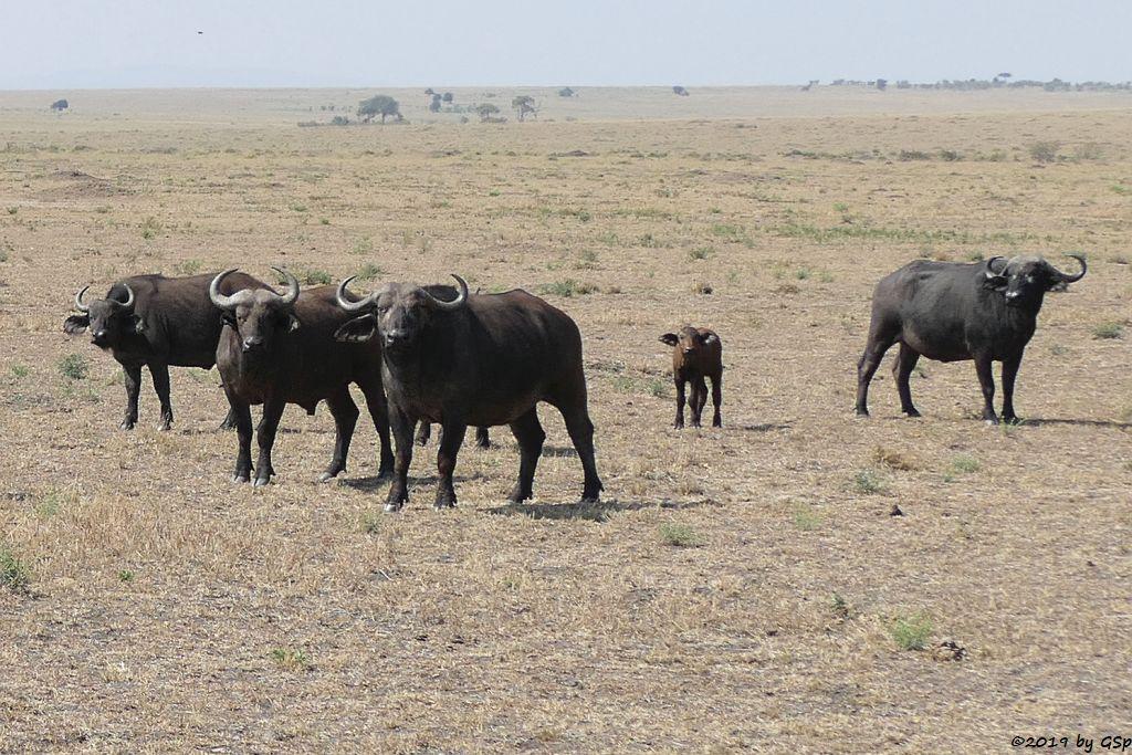 Kaffernbüffel (Schwarzbüffel)