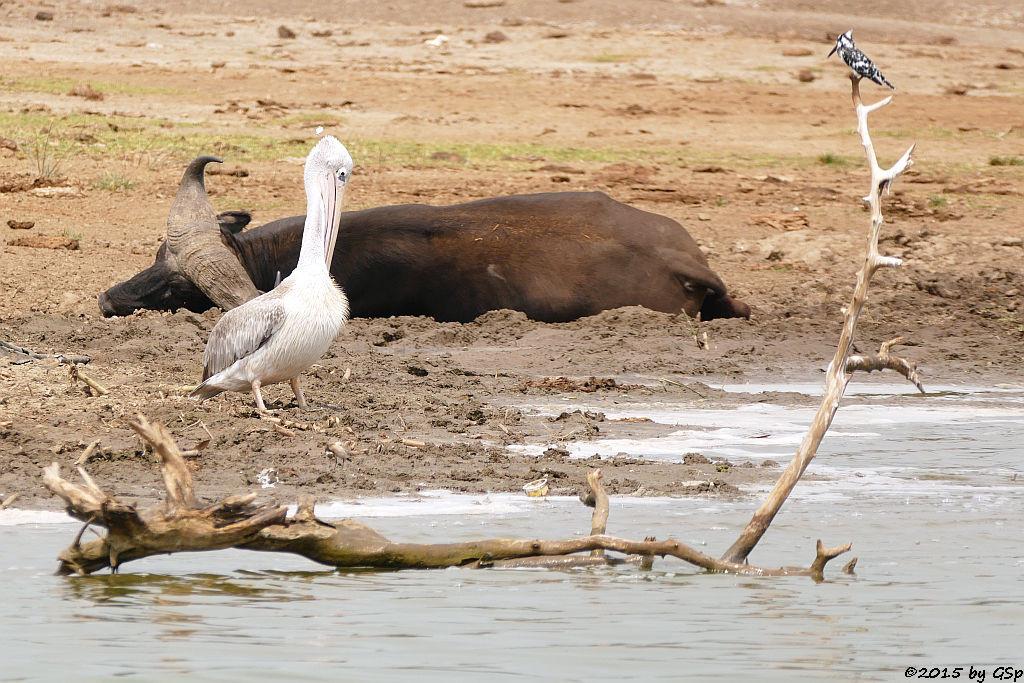 Rötelpelikan, Kaffernbüffel, Graufischer (pink-backed pelikan, Buffalo, Pied Kingfisher)
