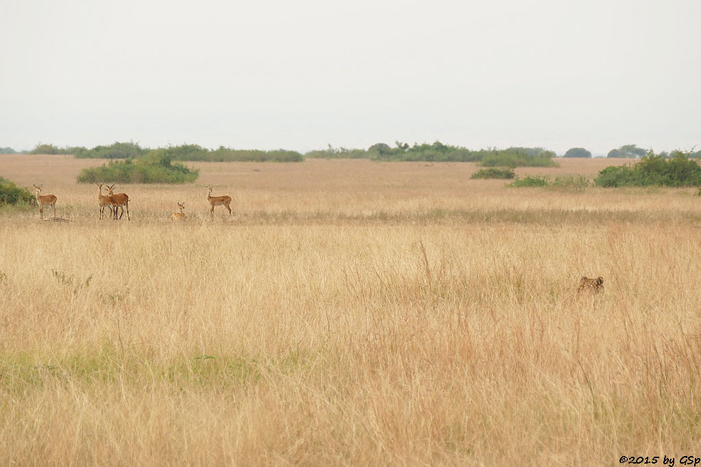 Uganda-Grasantilope/Thomas-Wasserbock, Löwe (Ugandan Kob, Lion)