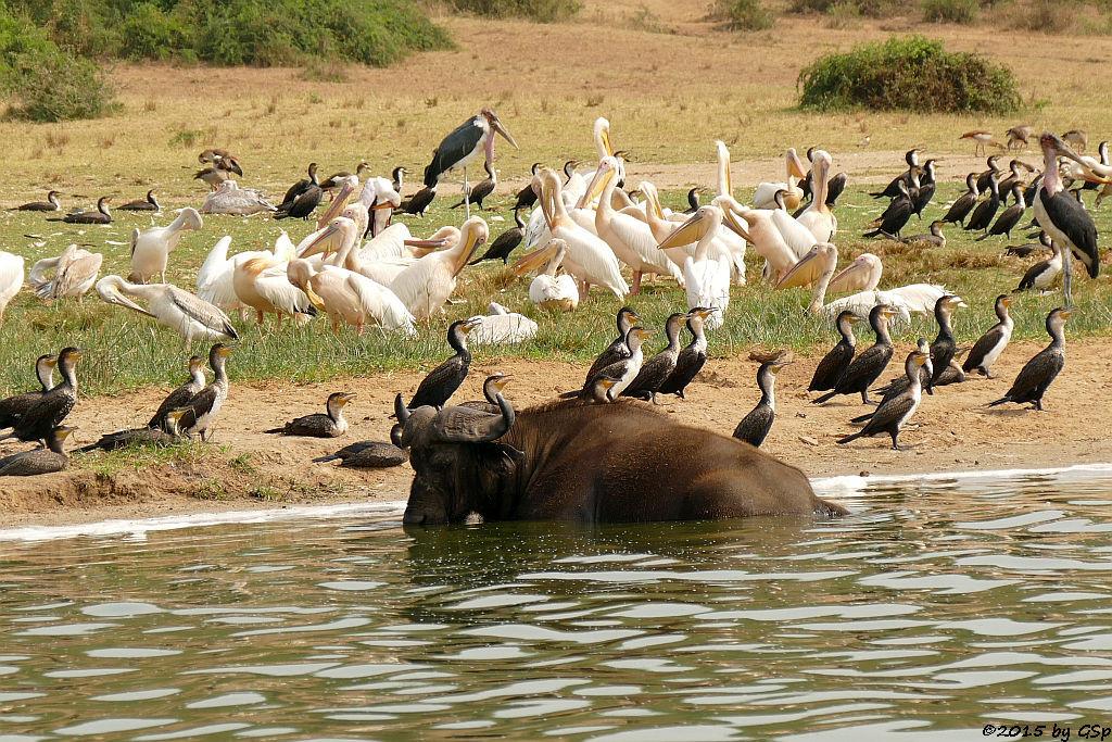 Kaffernbüffel, Weißbauchkormoran, Rosapelikan, Marabu, Nimmersatt (Buffalo, Greater (white-breasted) Cormorant, Great white pelican, Marabou Stork, Yellow-billed Stork))