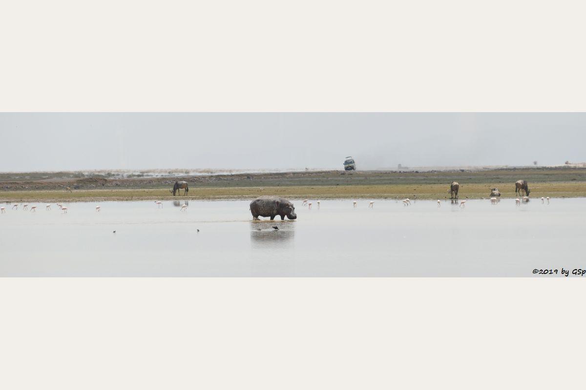 Zwergflamingo, Östliches Weißbartgnu, Flusspferd (Nilpferd)