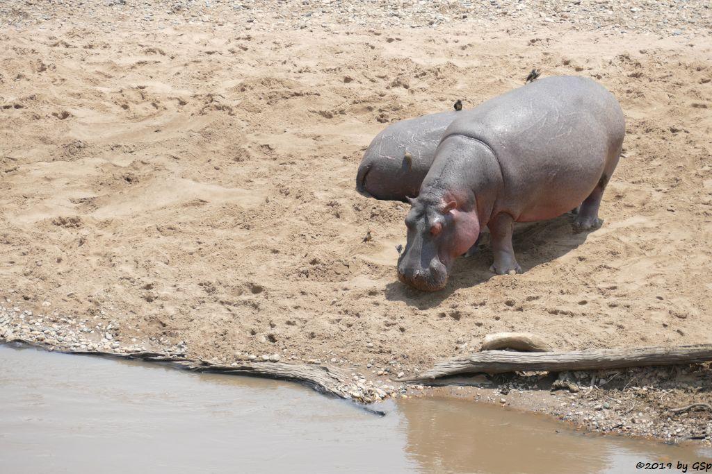 Flussspferd (Nilpferd), Rotschnabel-Madenhacker