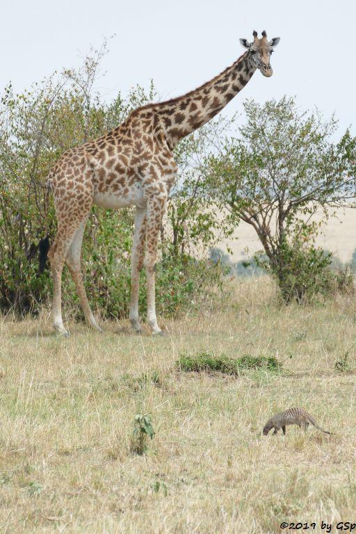 Massaigiraffe, Zebramanguste