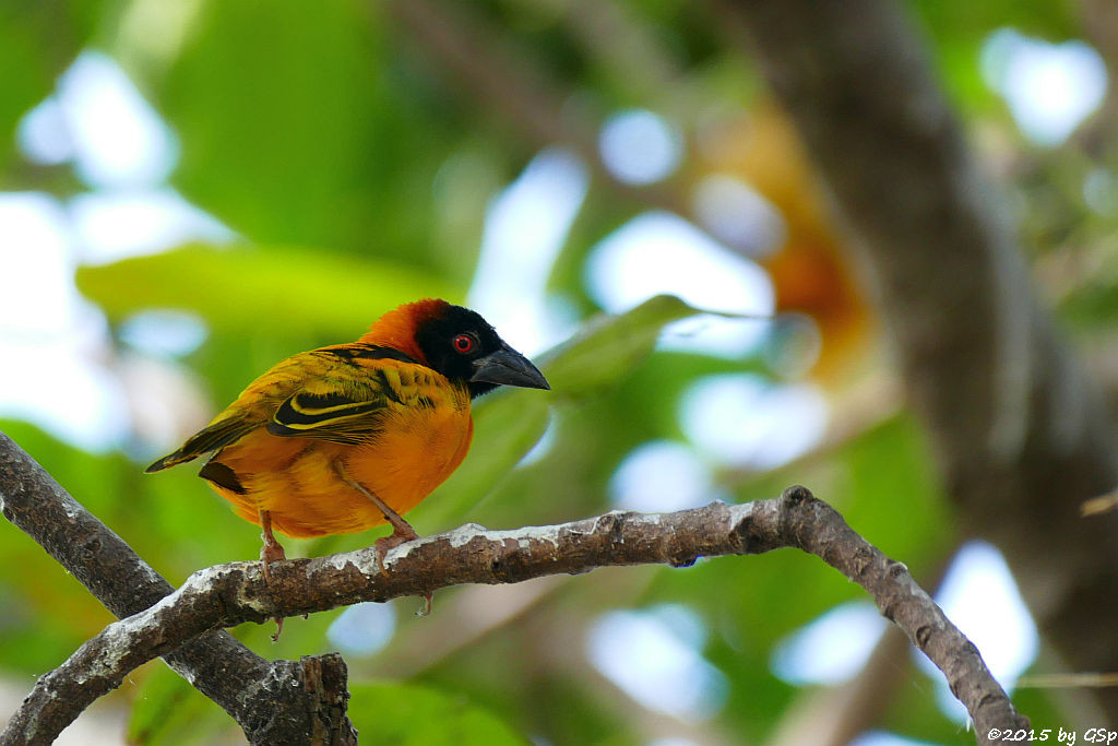 Schwarzkopfweber (Black-headed Weaver)