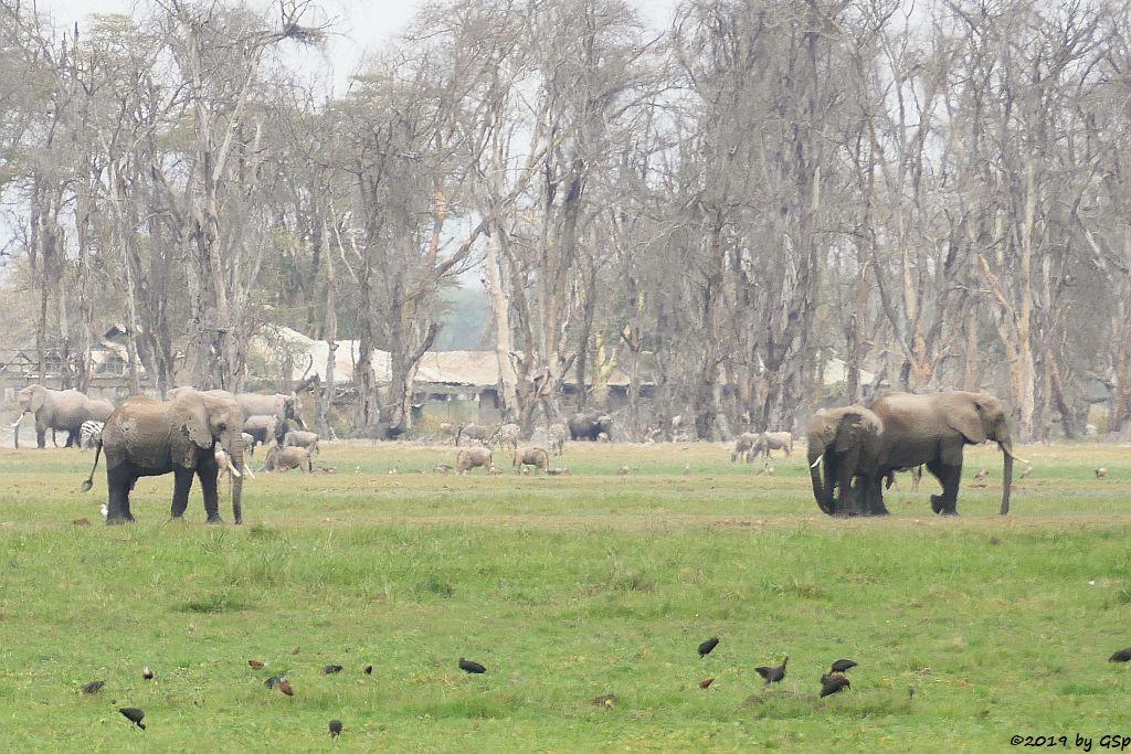 Brauner Sichler, Elefant, Östliches Weißbartgnu, Böhm-Steppenzebra, Kaffernbüffel