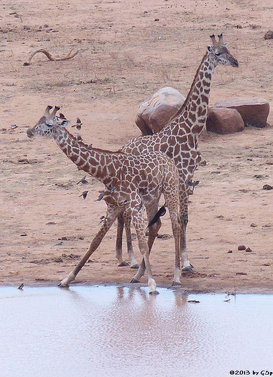 Massa-Giraffe