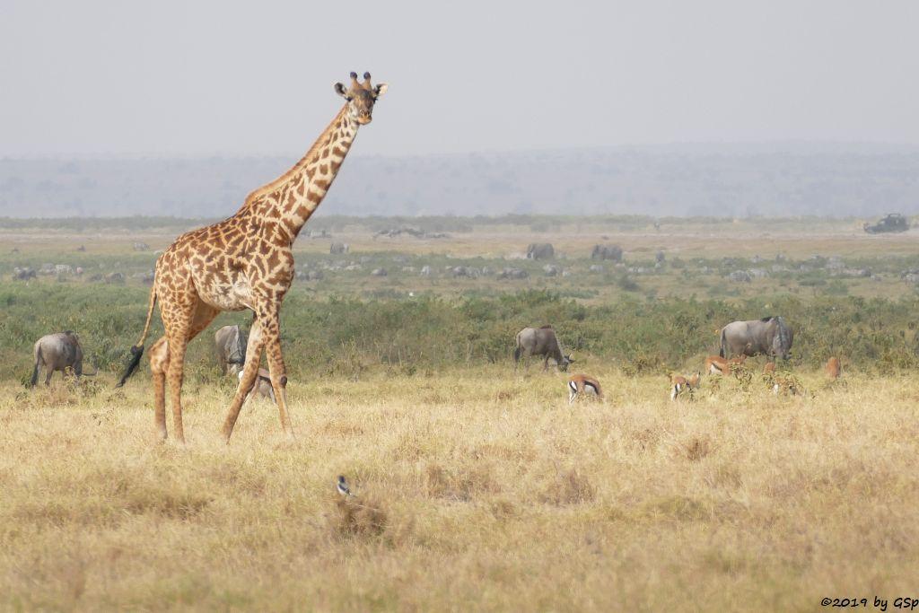 Massai-Giraffe, Östliches Weißbartgnu, Thomsongazelle