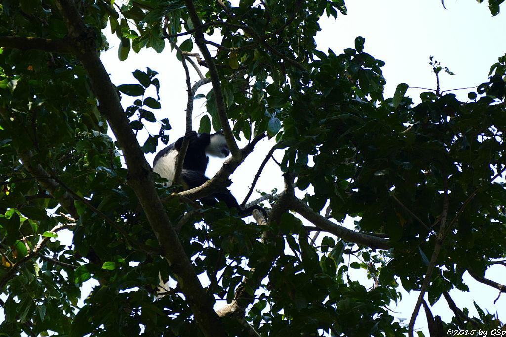 Mantelaffe, Guereza (Black-and-white Colobus)