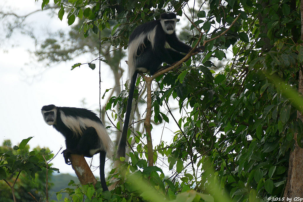 Nördlicher Guereza (Mantled Guereza, Colobus)
