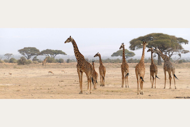 Massai-Giraffe, Thomsongazelle